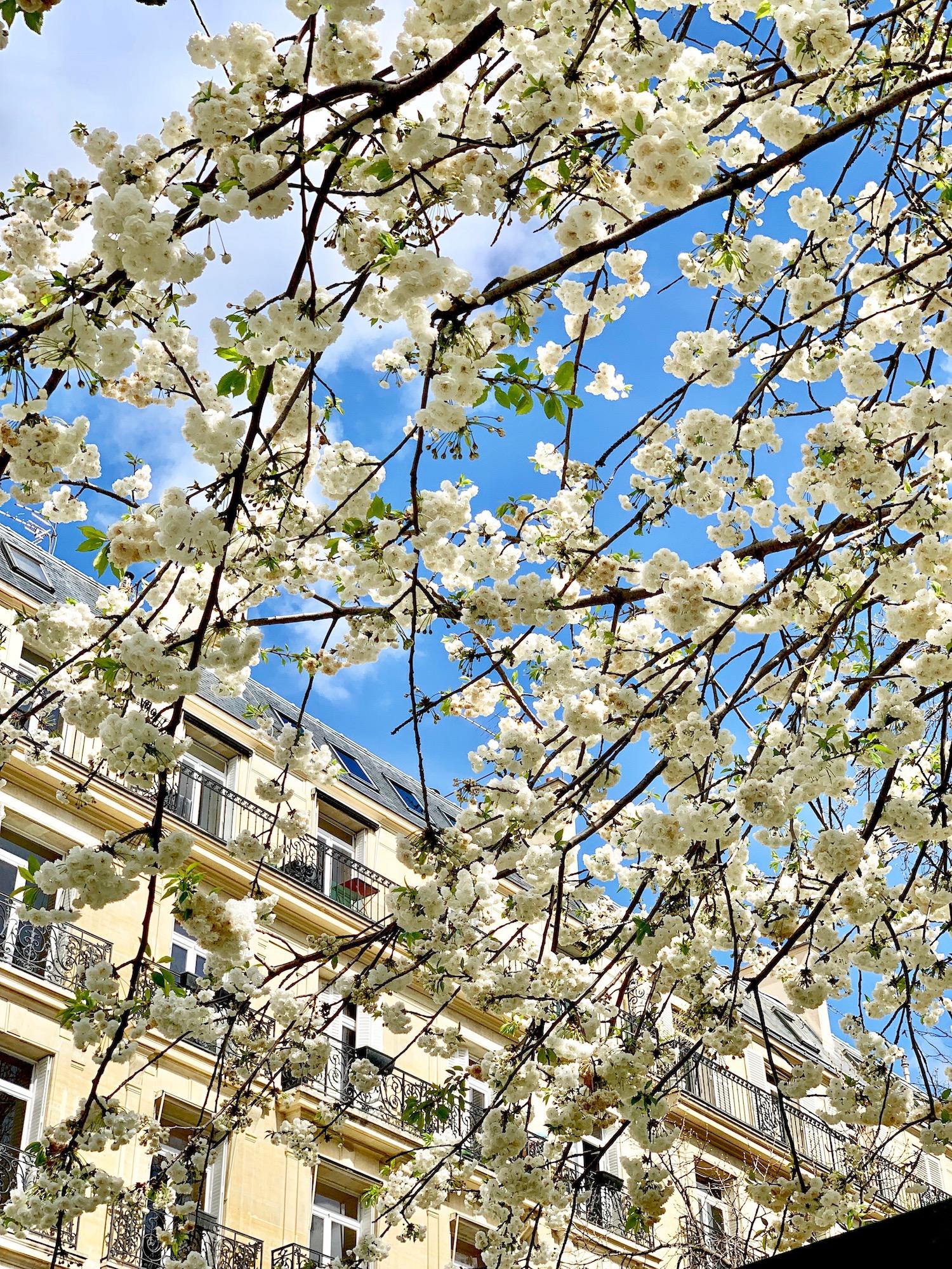 April in Paris white tree blossoms