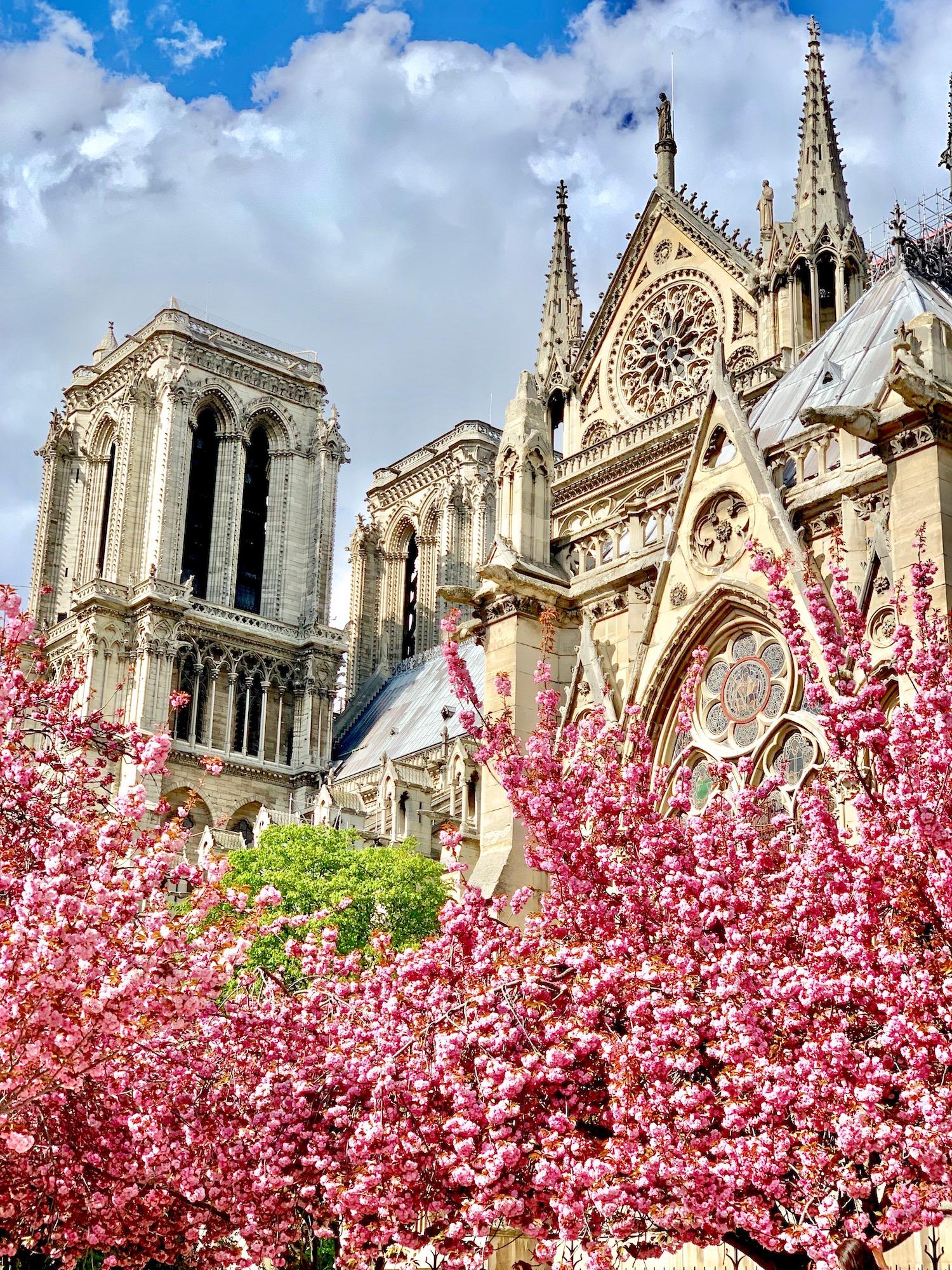 Notre Dame Cherry Blossoms