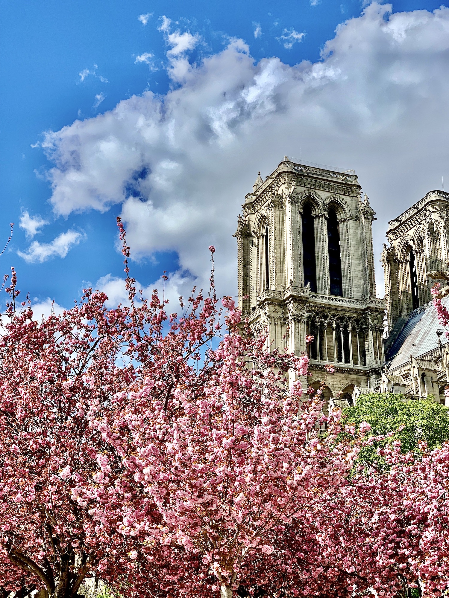 Best of 2019 Notre Dame Cherry Blossoms