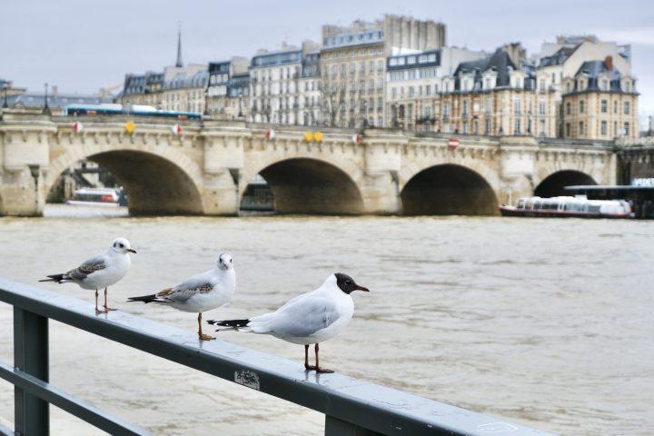 Seagulls along the Seine
