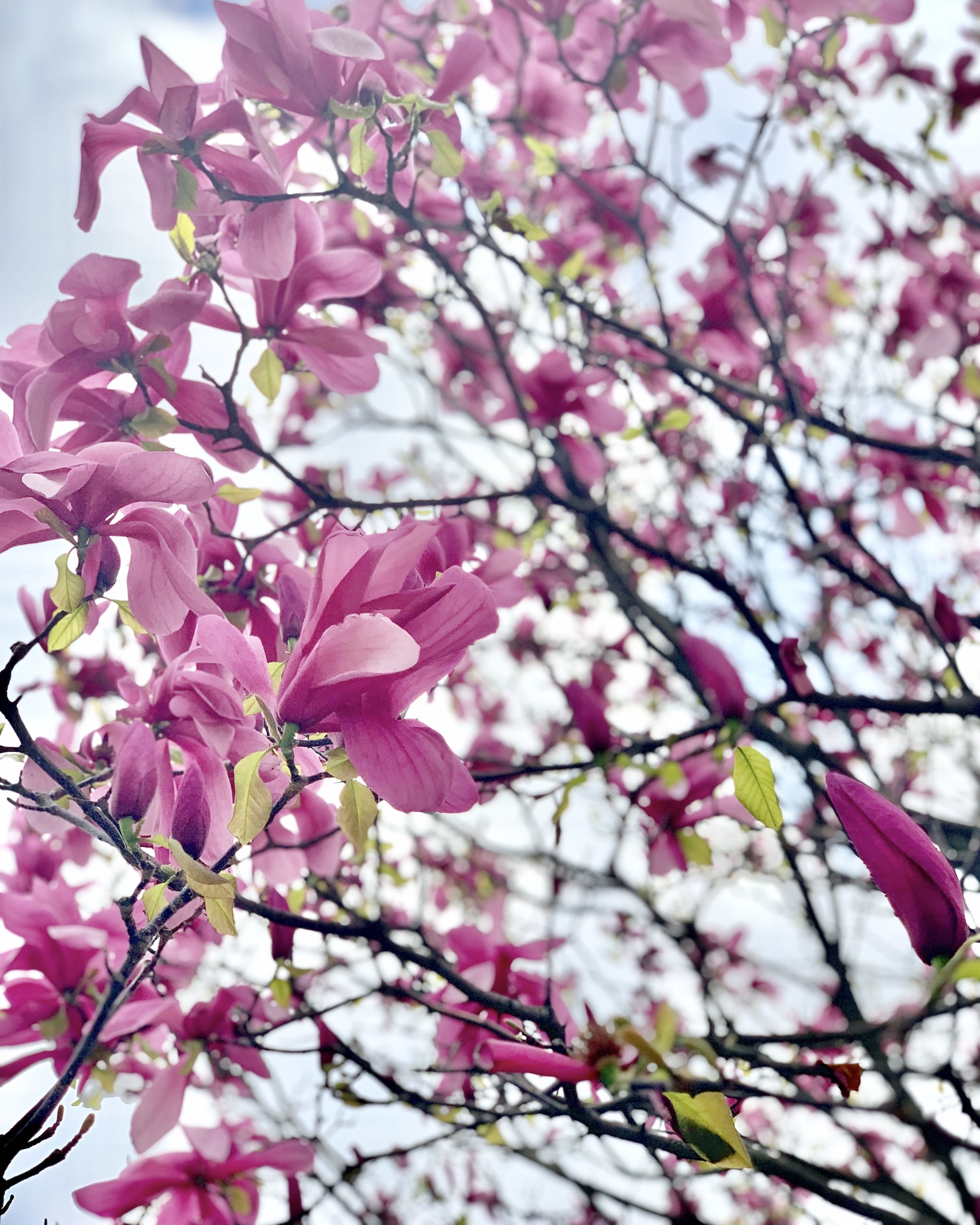 Magnolias at the Palais Royal in Paris