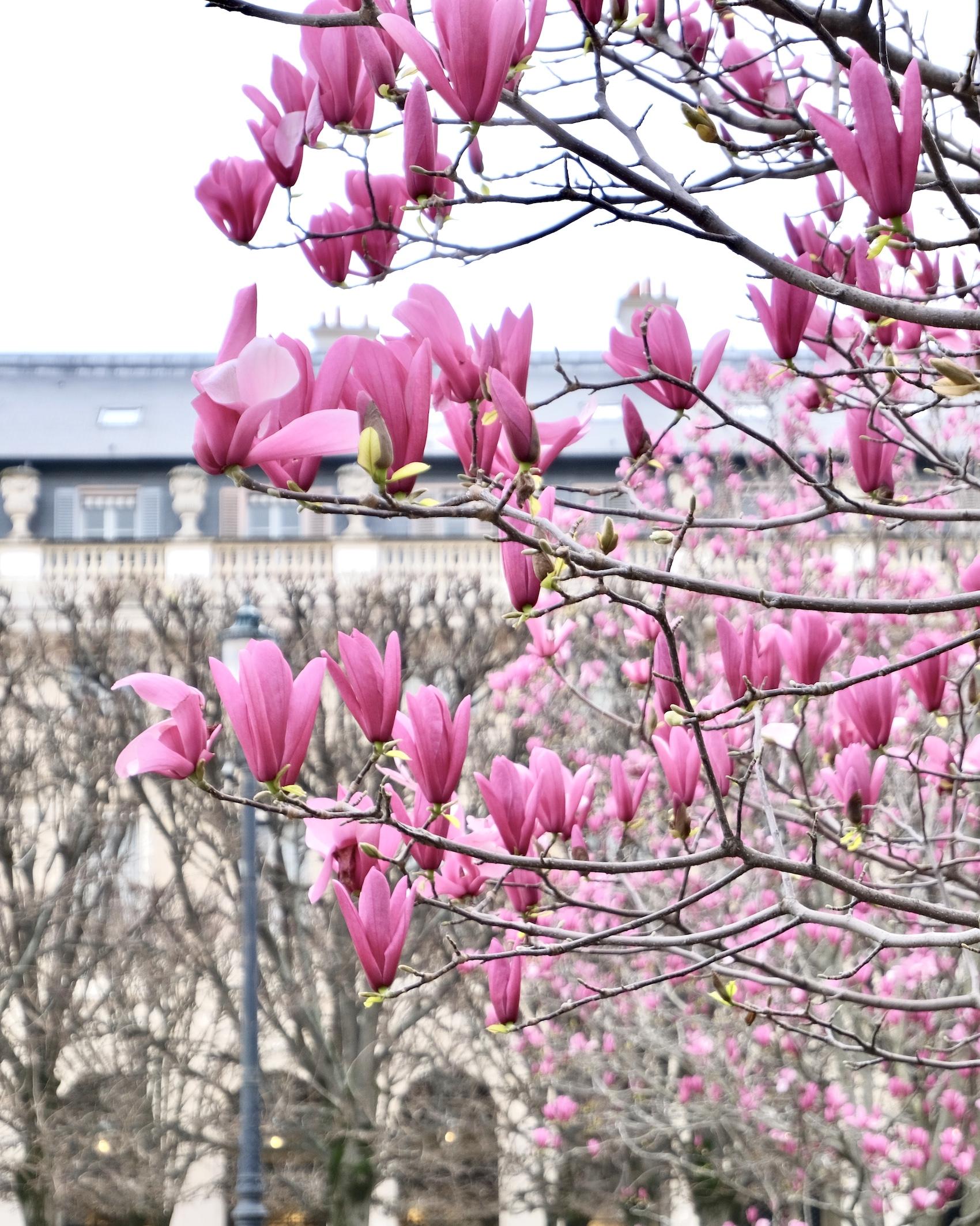 Magnolias in the Palais Royal garden