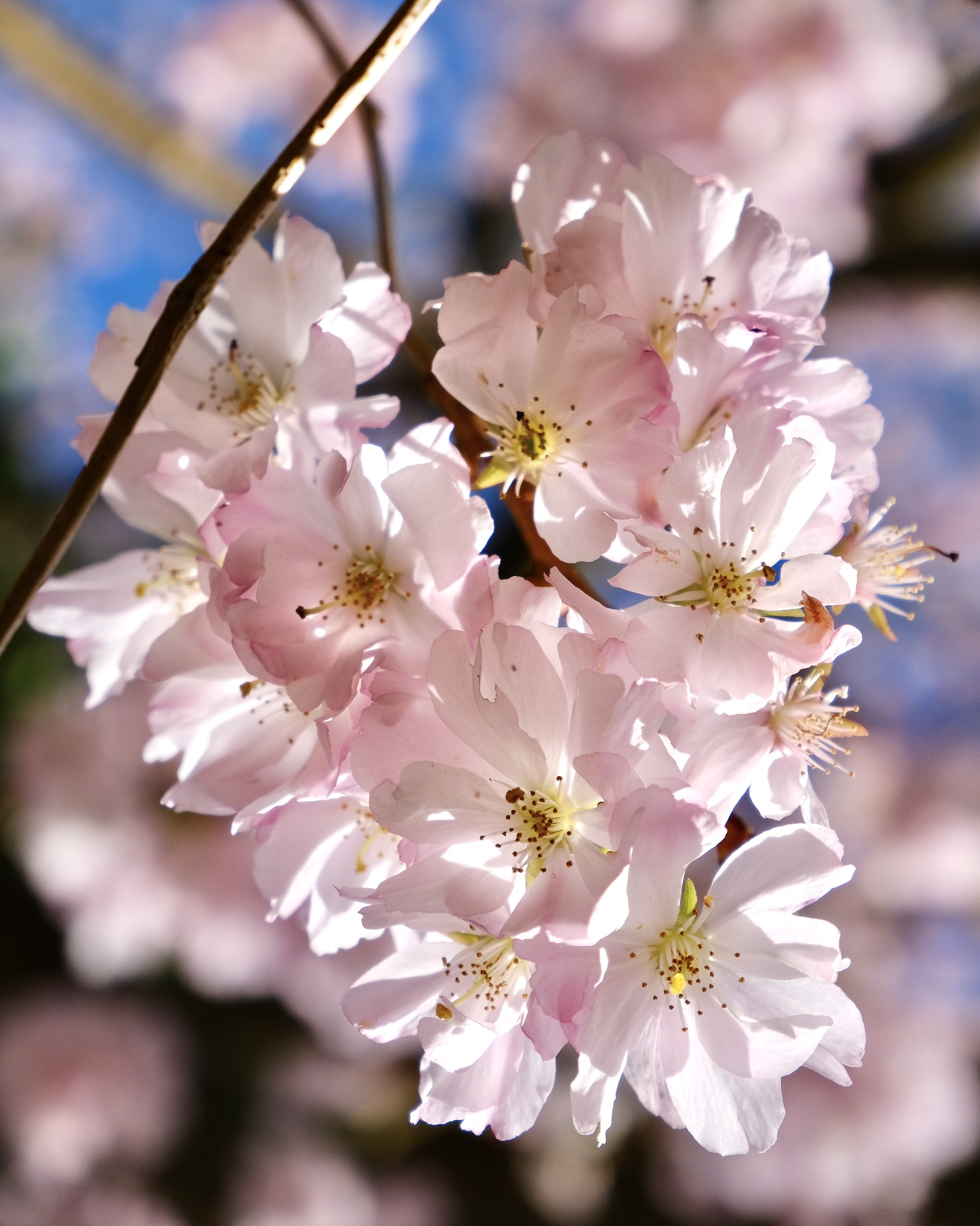 Cherry Blossoms in Normandy