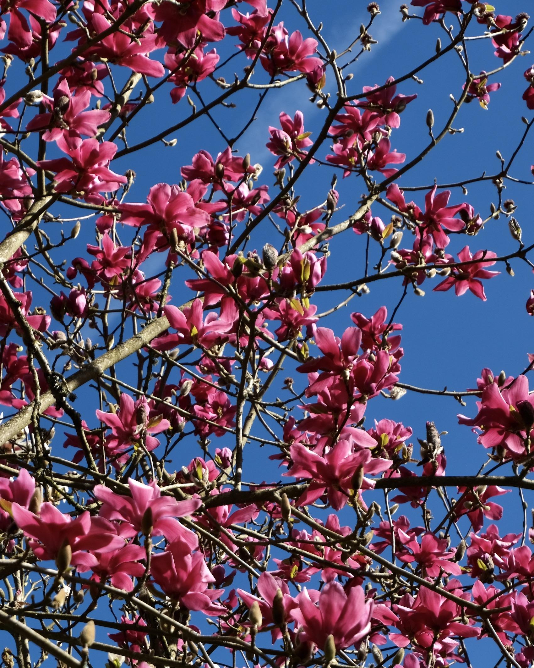 Magnolias in Carolles
