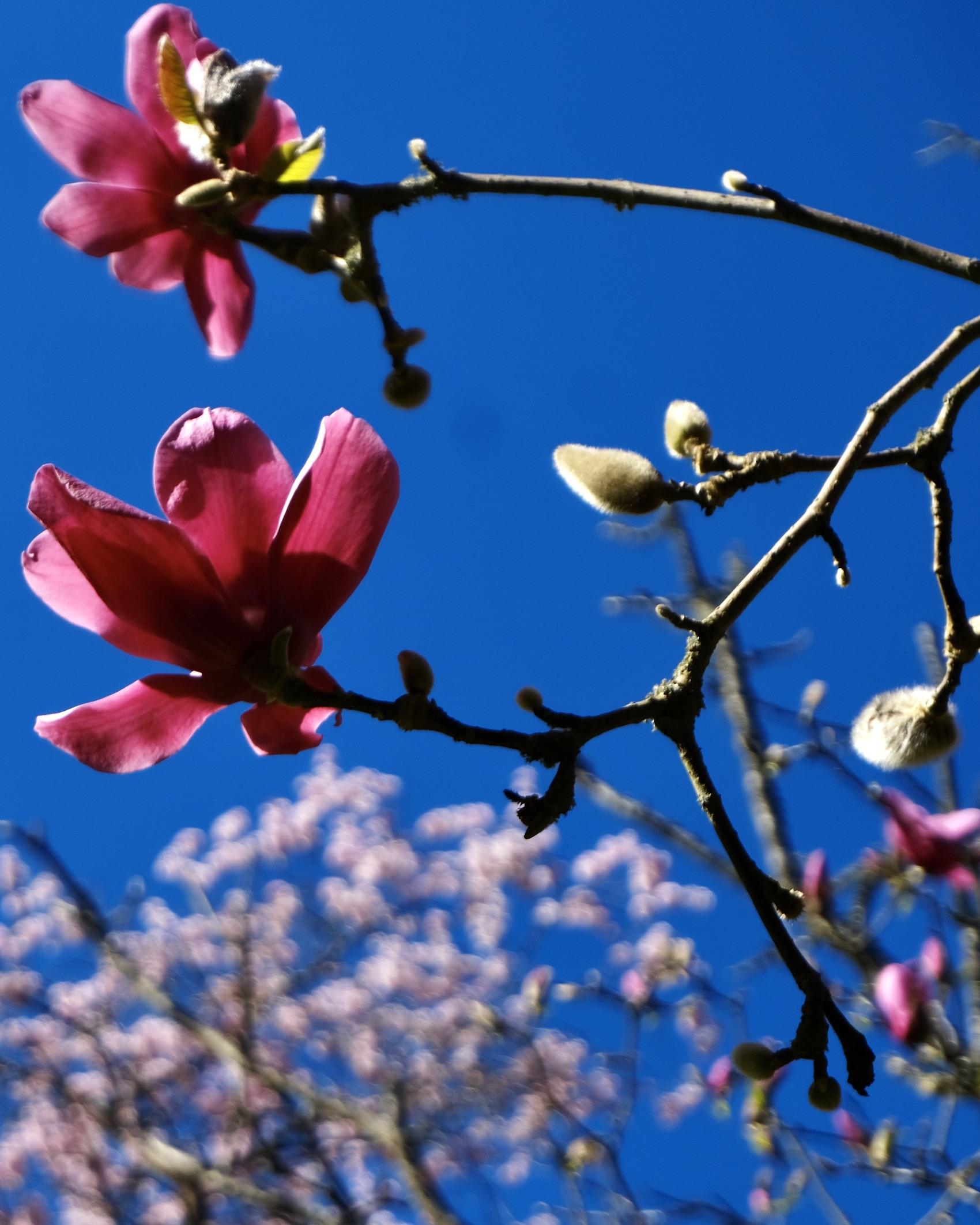 Magnolias in the garden