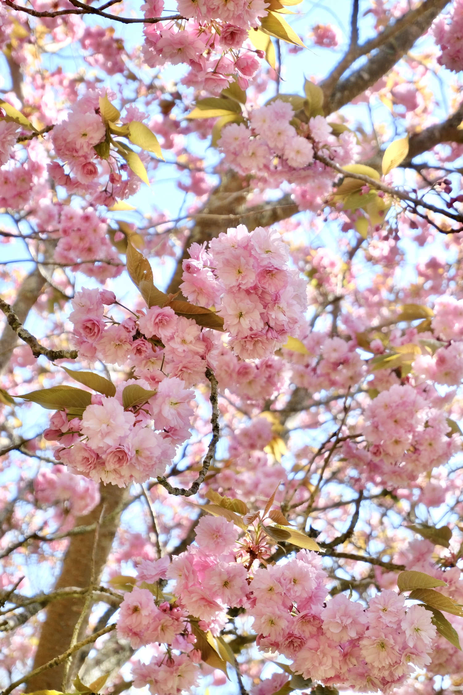 Normandy cherry blossoms