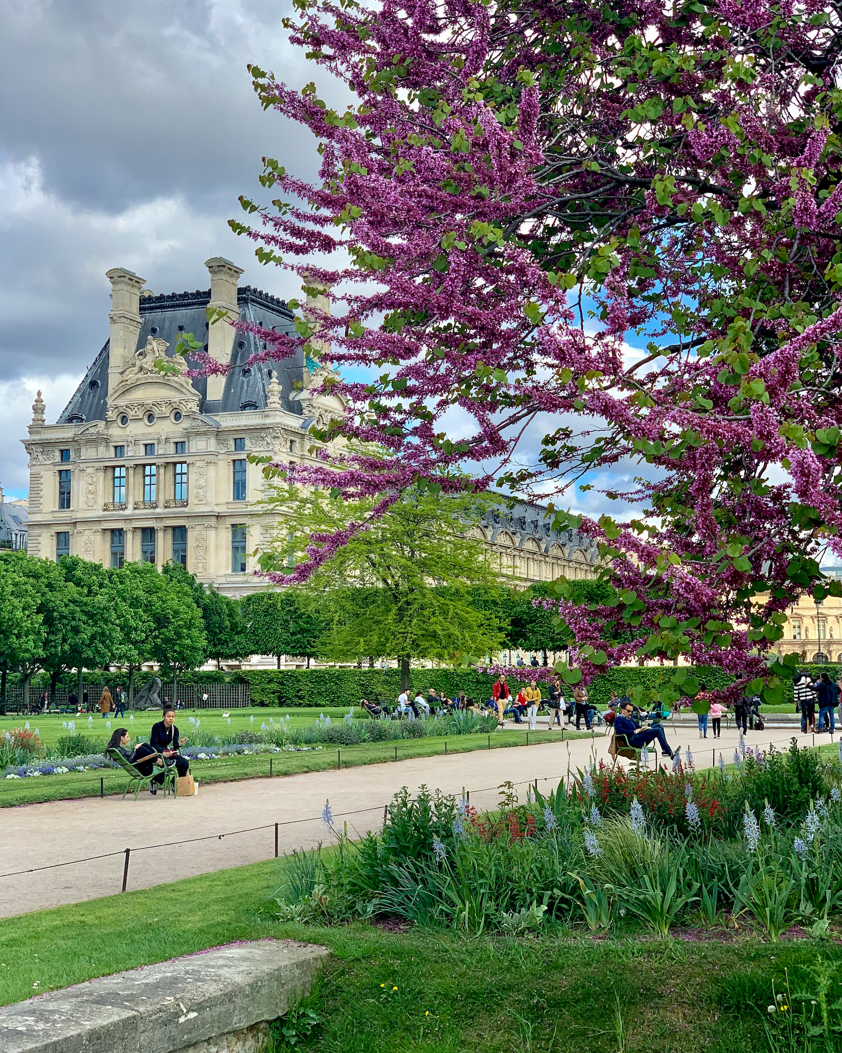 Pink Judas Tree with the Louvre in Paris