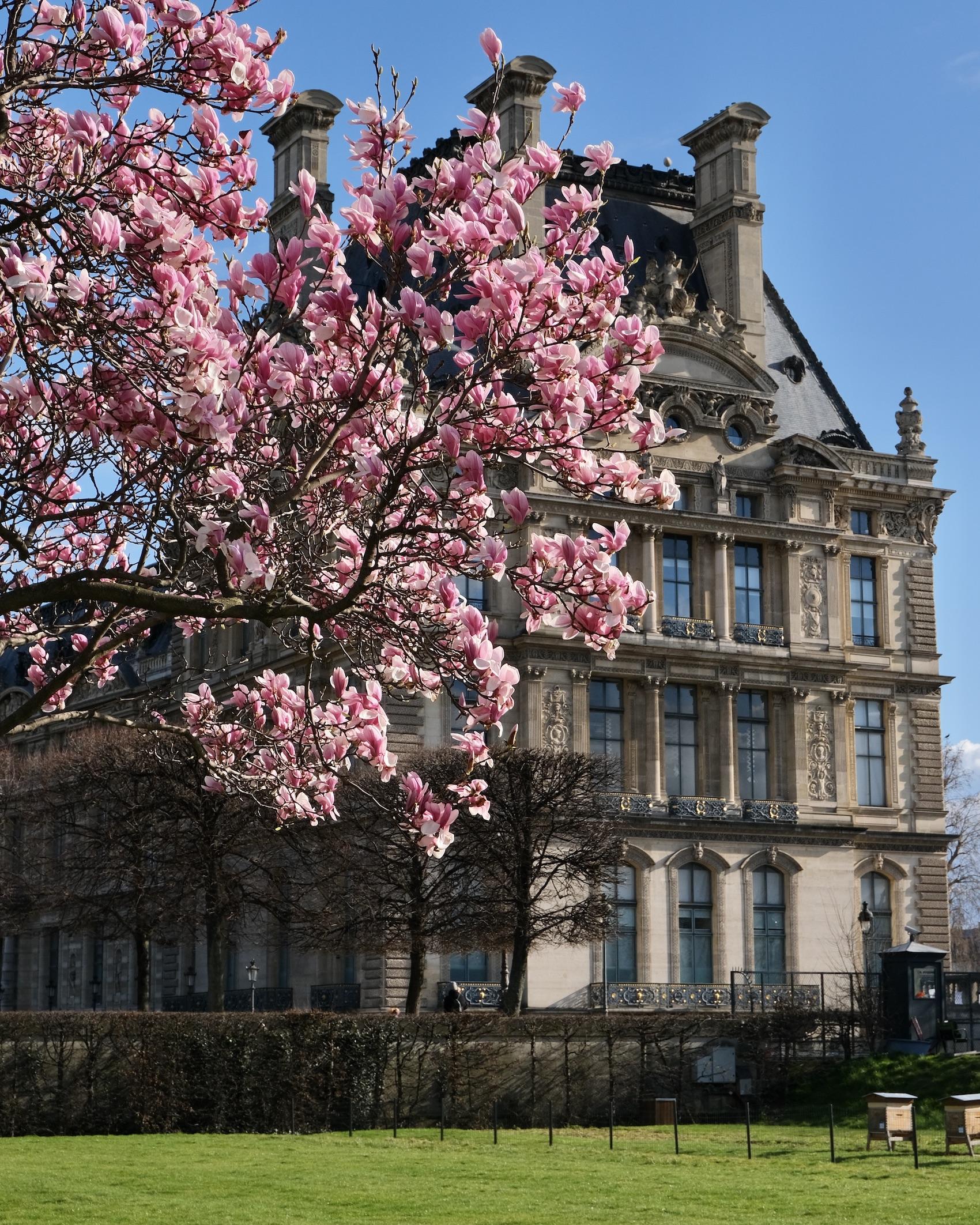 Tuileries Garden Magnolia blooms