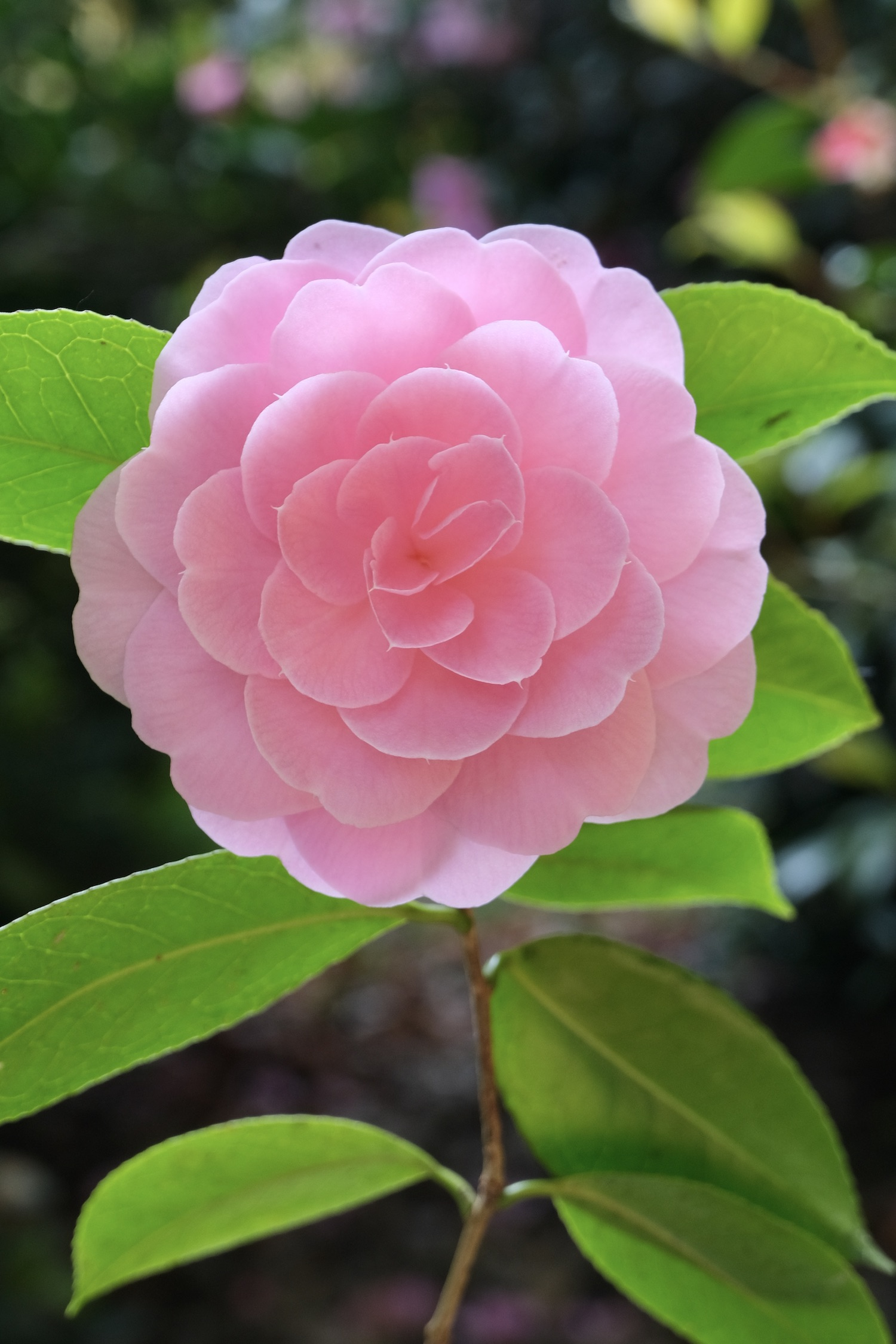 Camellia from the garden in Normandy