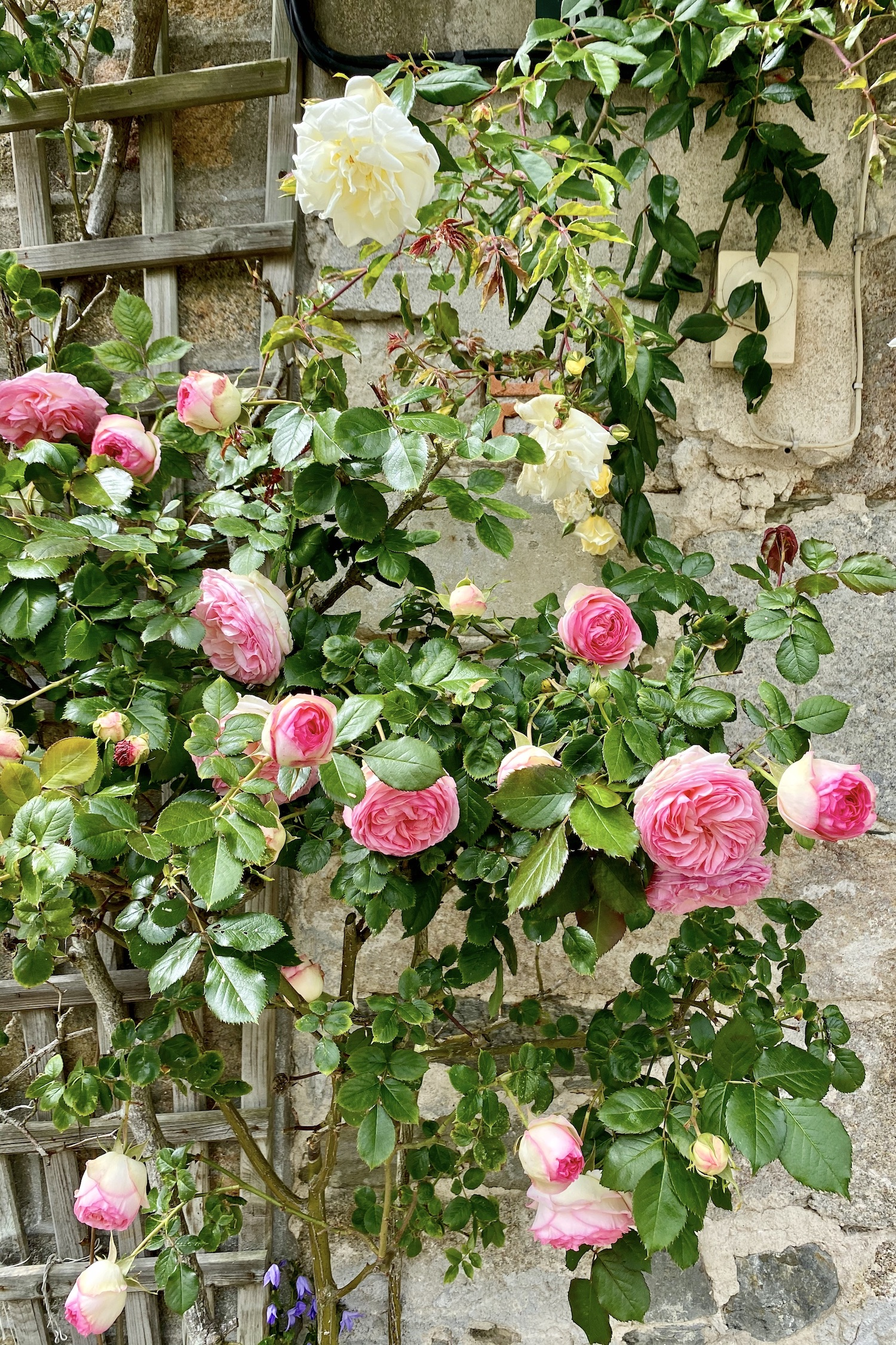 Roses in Genêts