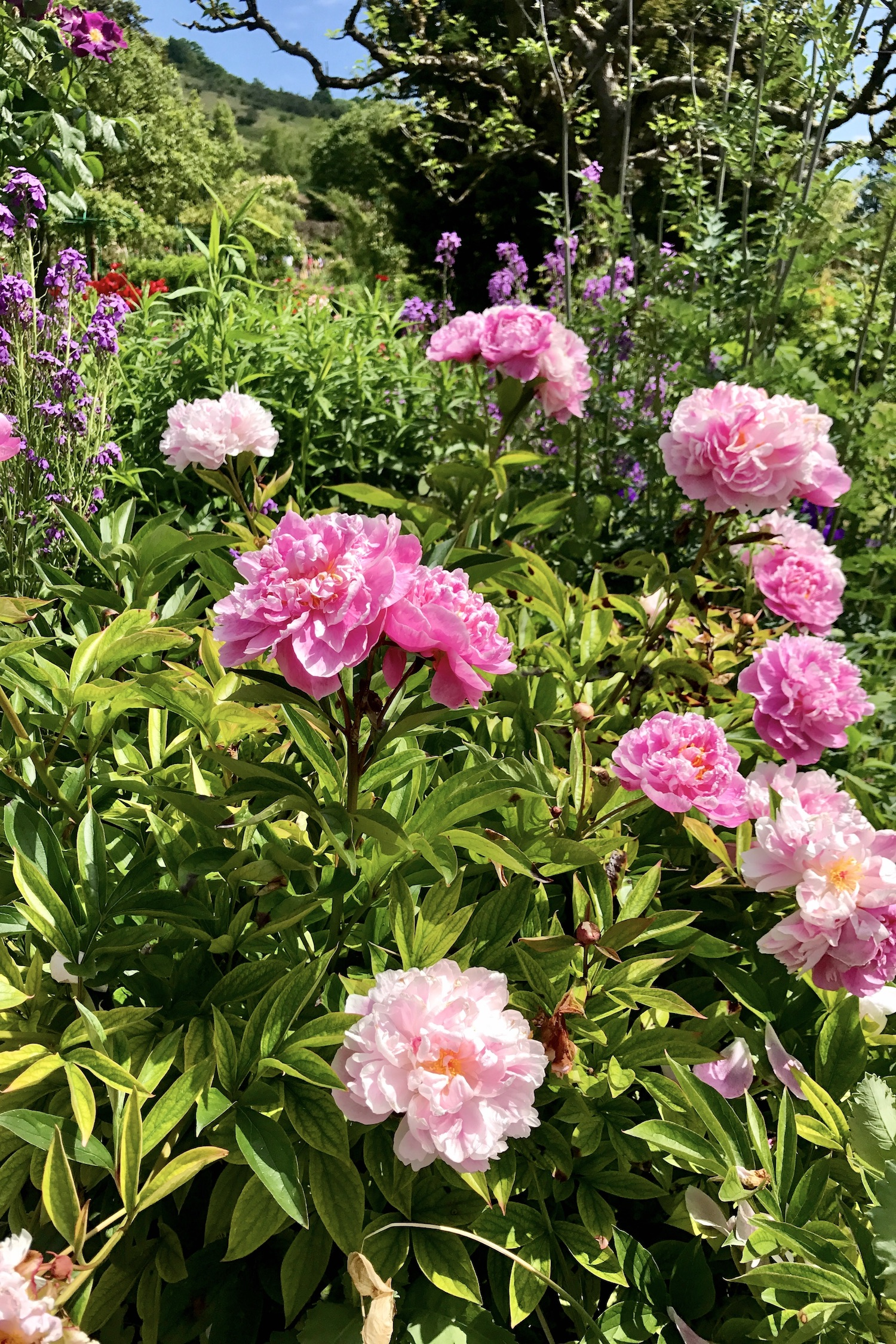 Fondation Claude Monet Peonies