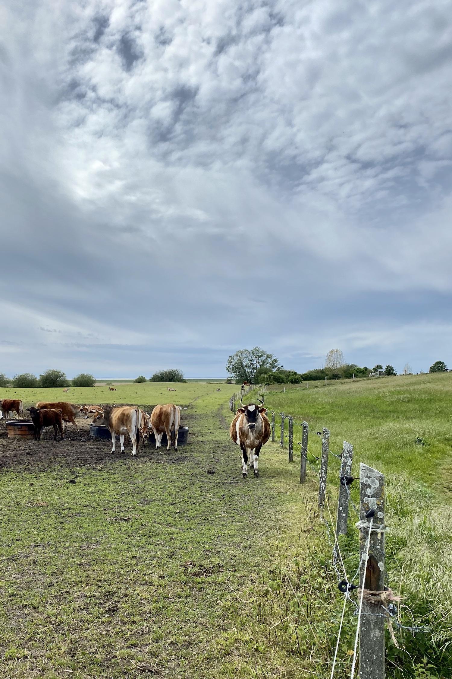 La Manche Normandy Cows