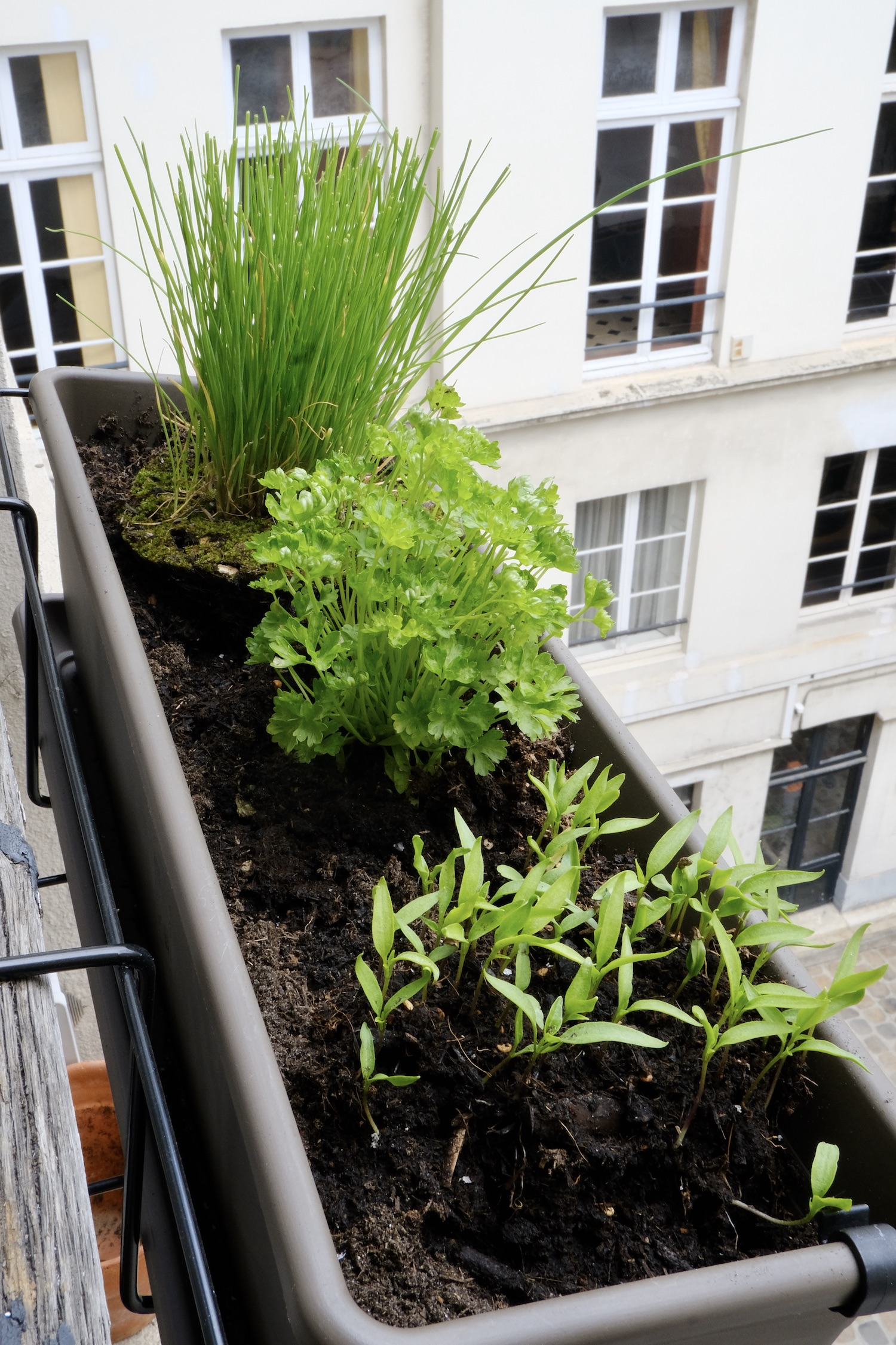 Herbs in my Paris window boxes