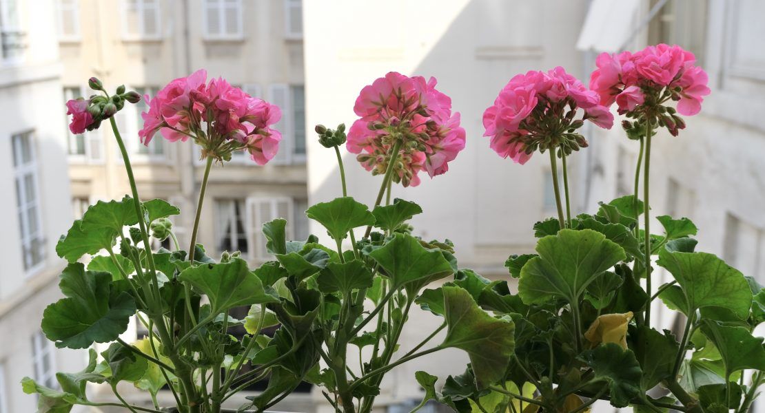 My Parisian Window Boxes Pink Geraniums Featured