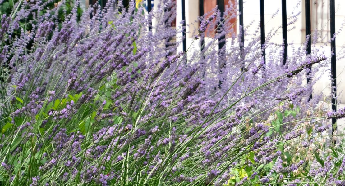 Provence in Paris Lavender featured