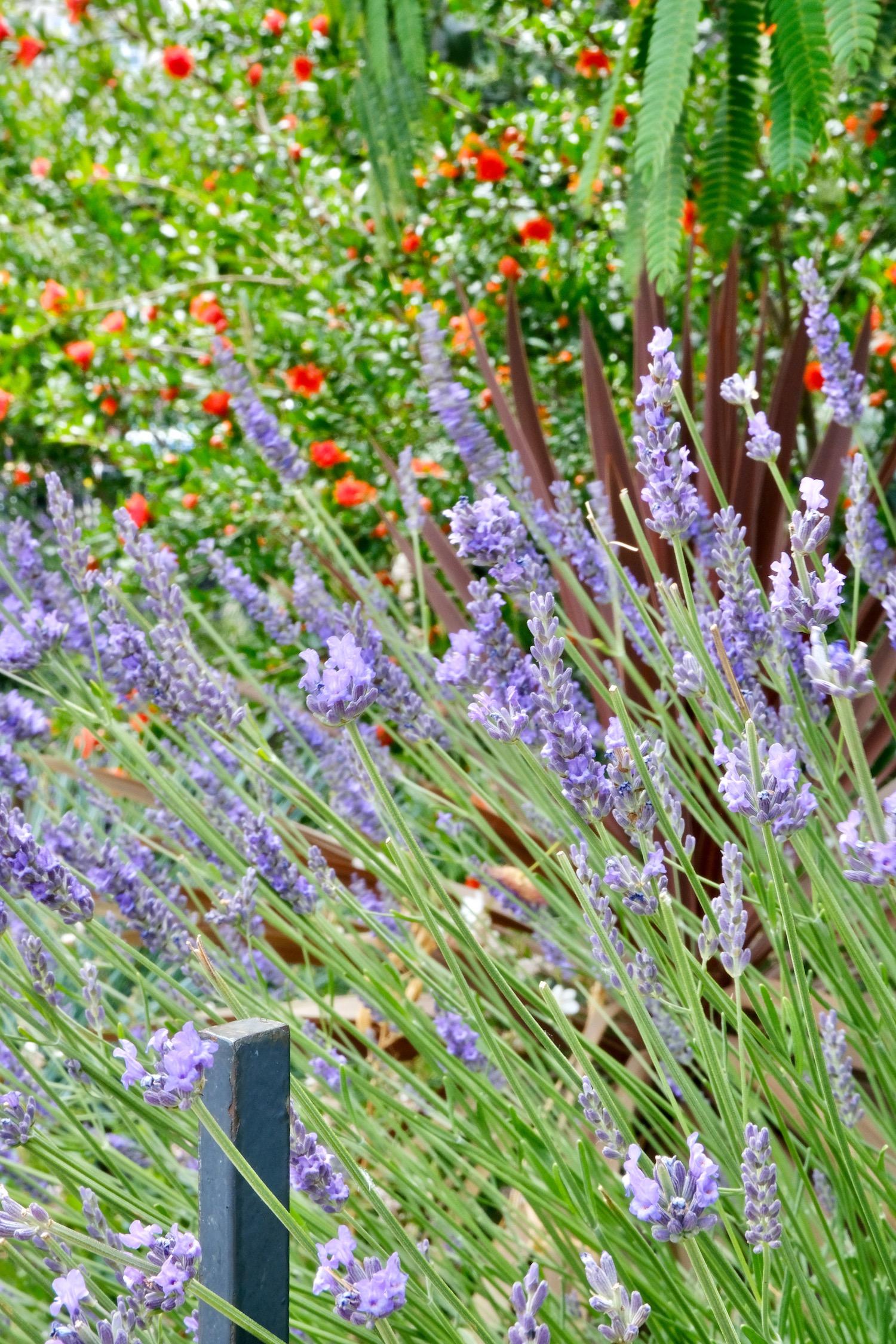 Provence lavender in Paris