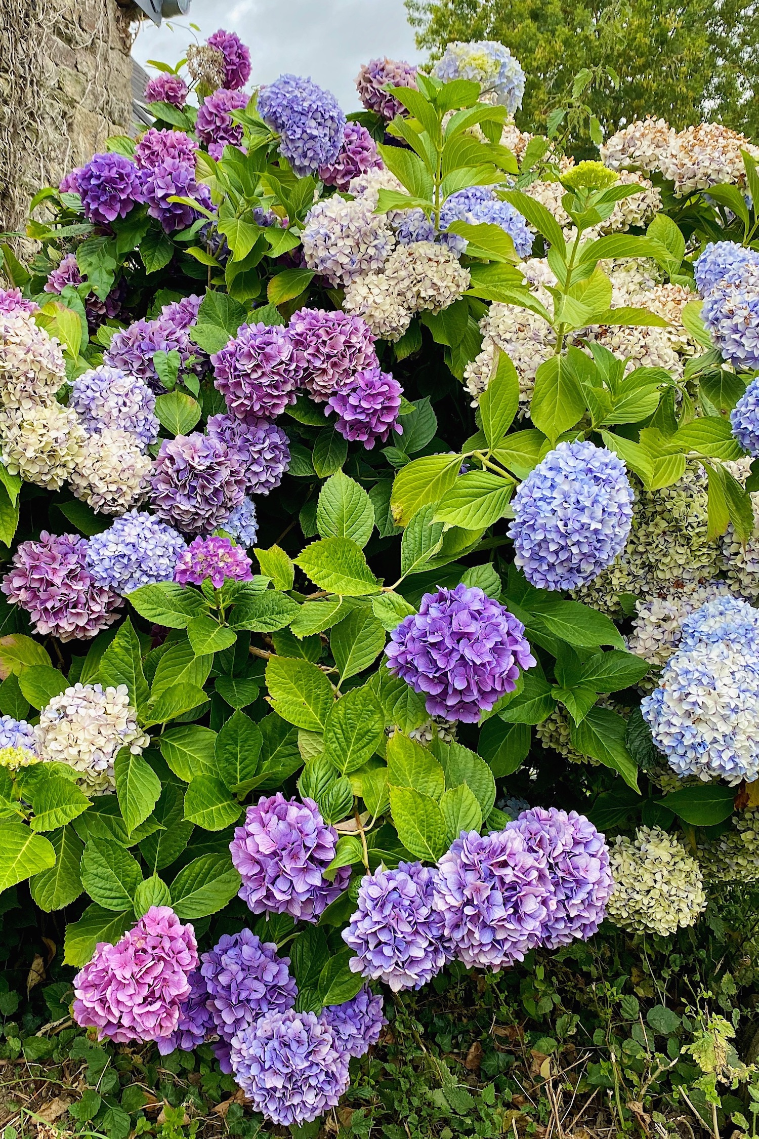 hydrangeas in Normandy