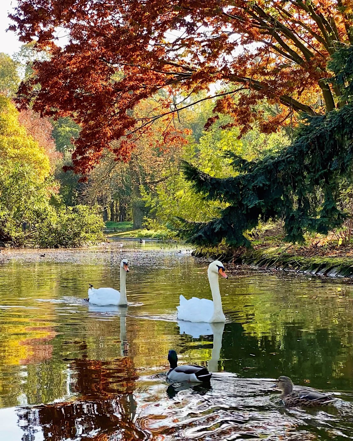 Swans in Bois de Boulogne. This week features a Van Gogh in Arles Virtual Visit