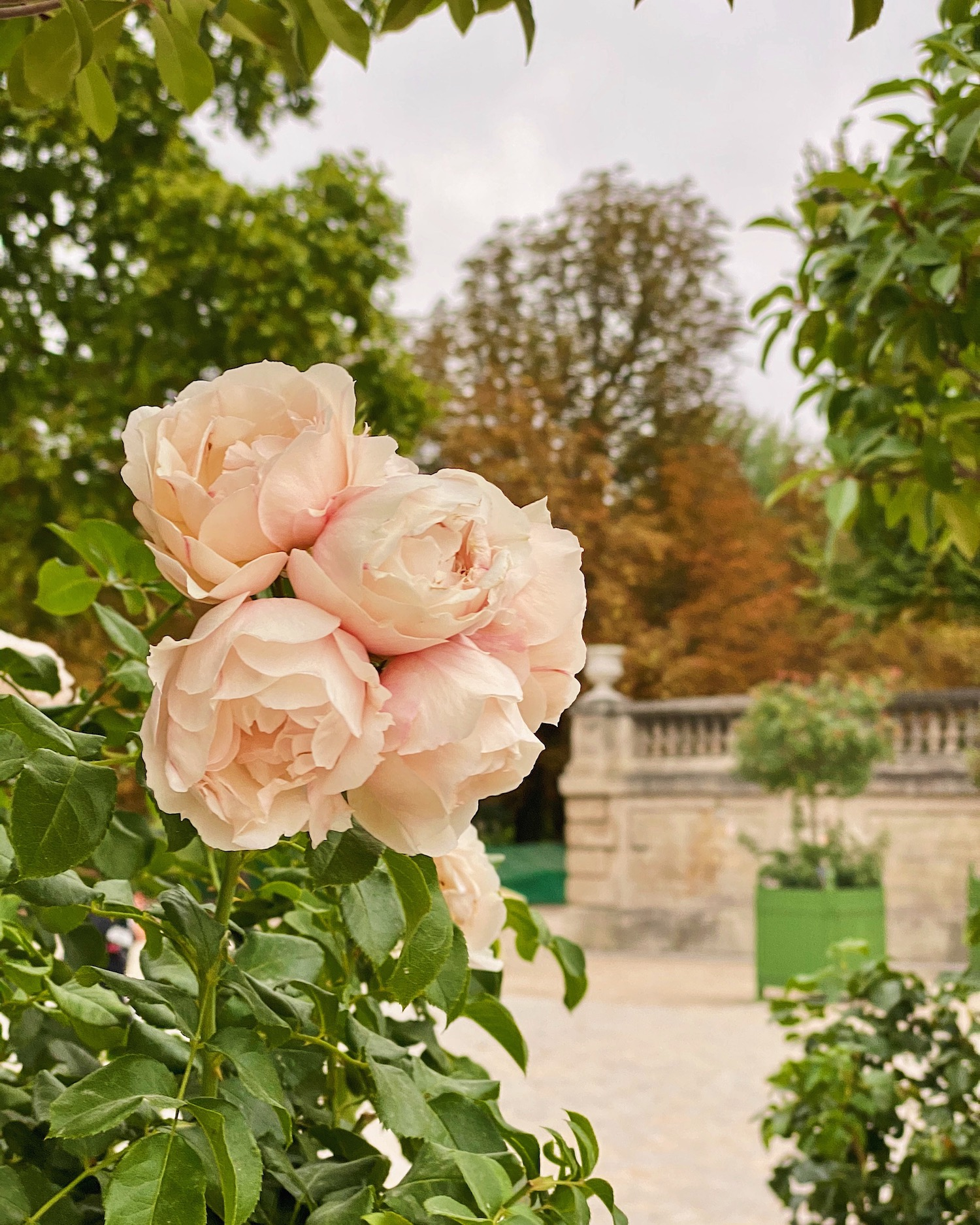 tuileries roses