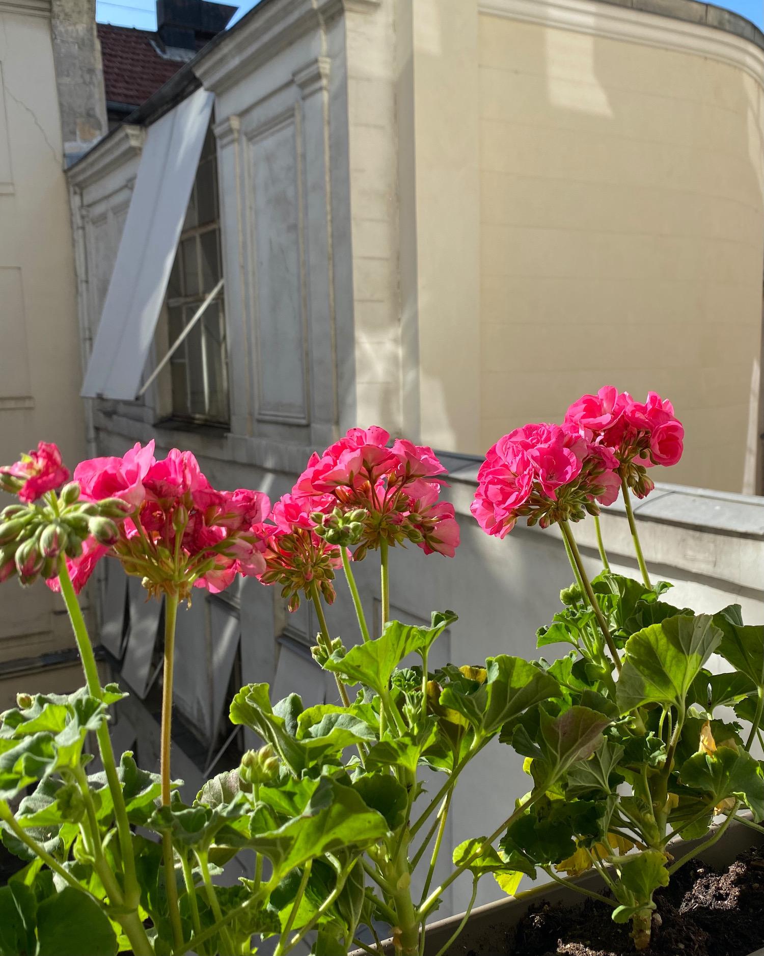 pink geraniums paris window box
