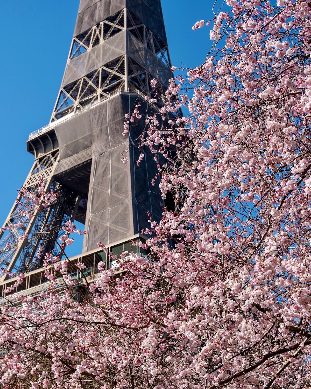 eiffel tower cherry blossoms