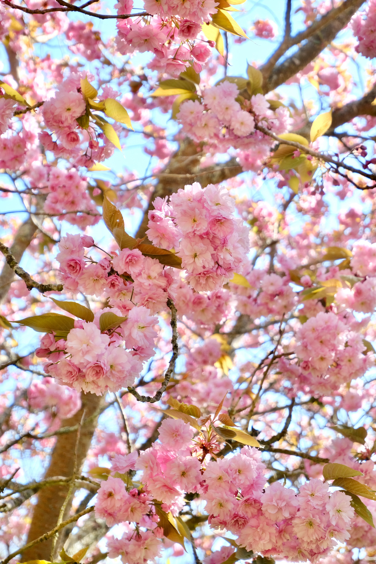 pink cherry blossoms in normandy