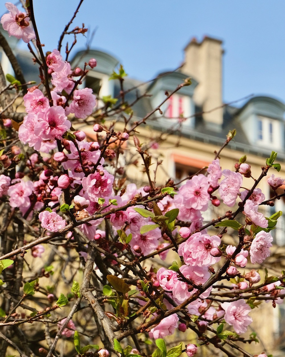 march cherry blossoms in paris