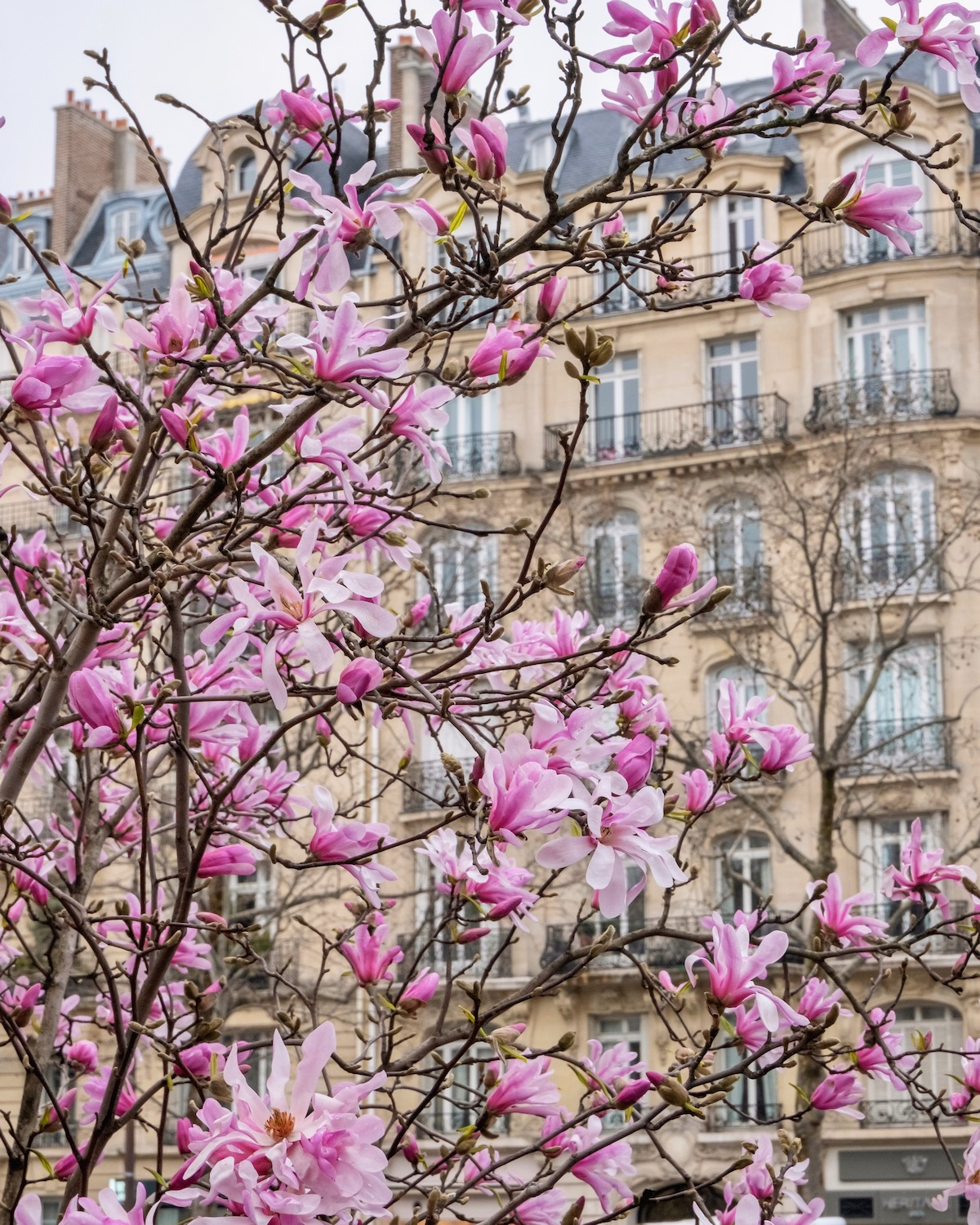 pink magnolias in neuilly