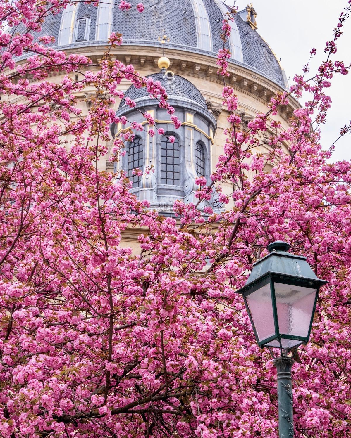 april in paris cherry blossoms institut de france