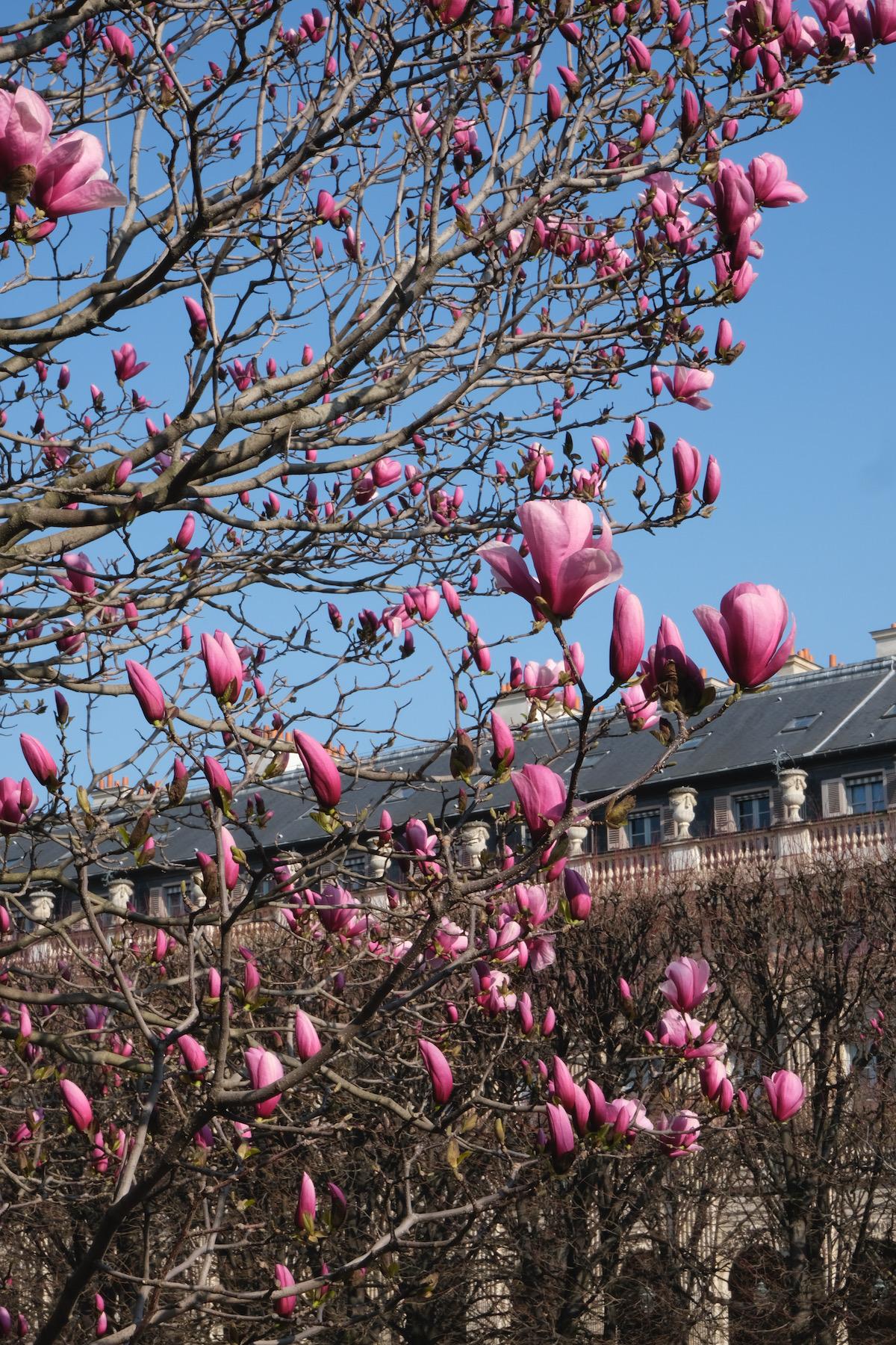 magnolia buds palais royal