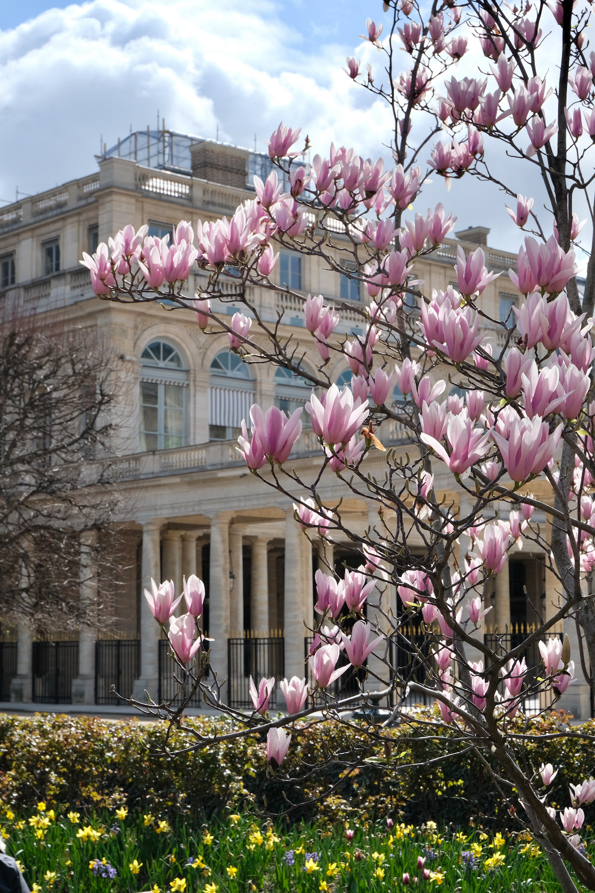 pink magnolias in the jardin du palais royal
