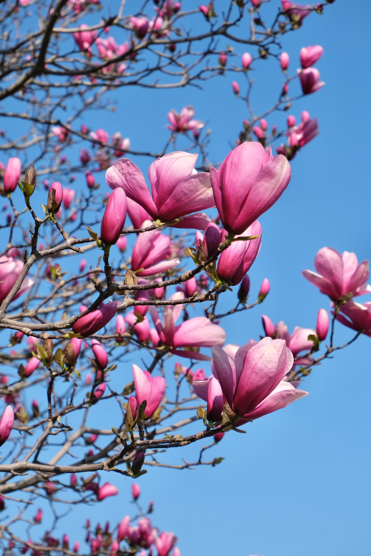 hot pink magnolias palais royal