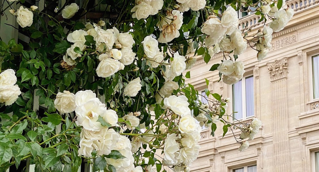 white roses featured