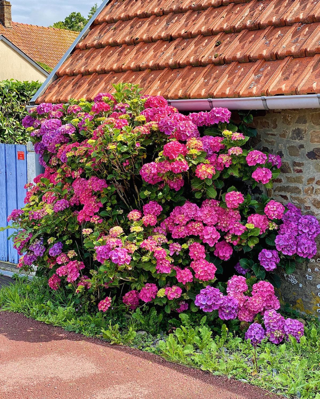 hydrangeas in normandy
