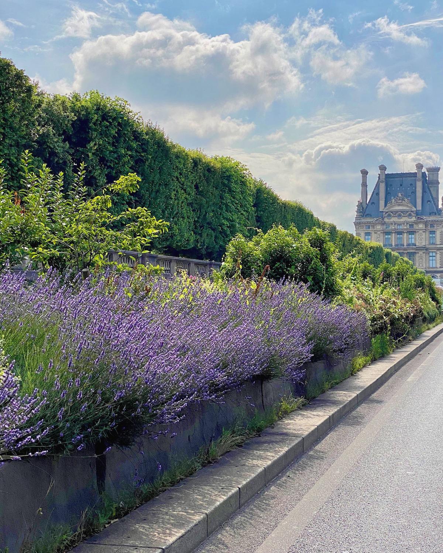 lavender in paris