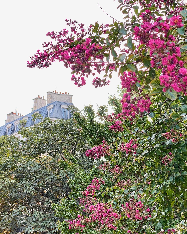 august pink flowers in paris