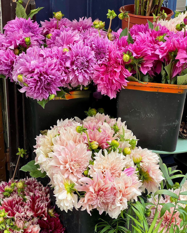 pink dahlias in september in paris